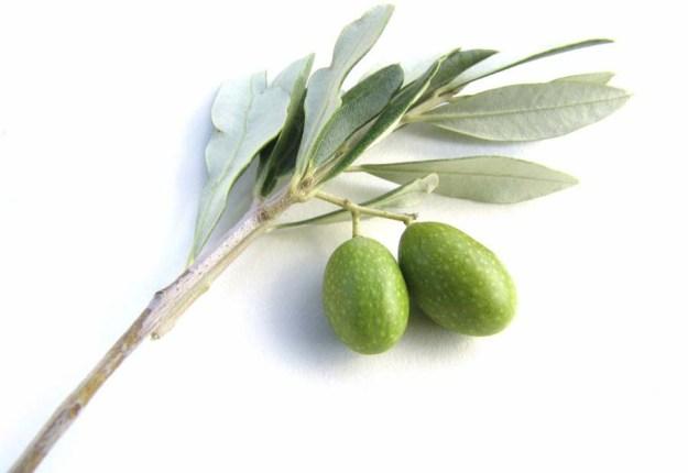 olivebranch_001